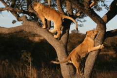 Lions-climbing-a-tree-in-AP